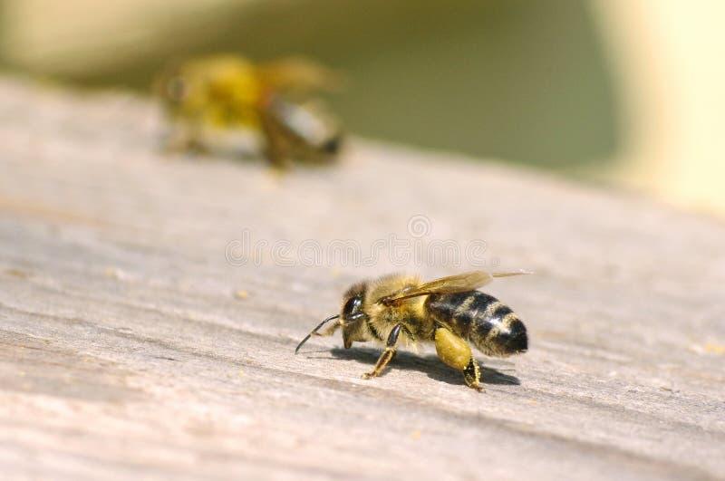 Working bee near beehive royalty free stock photos