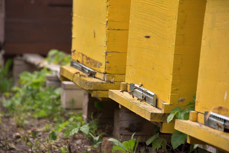 Working bees flying near yellow hives, Kikinda city, Vojvodina Serbia stock image