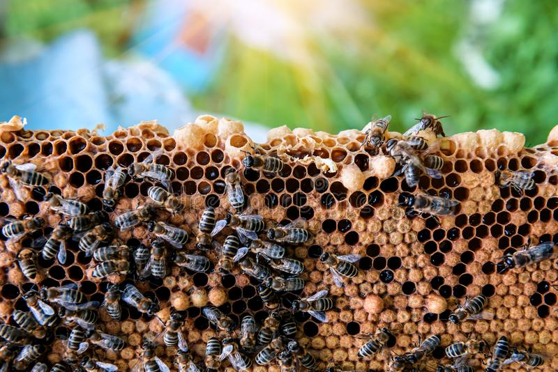 Working bees on the honeycomb royalty free stock photos