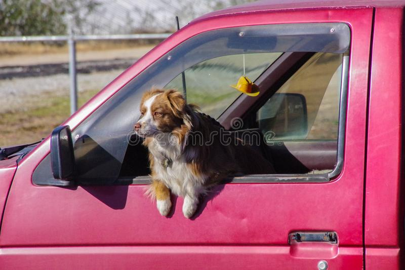 Cattle dog in red pickup truck with miniature cowboy hat hanging from rear-view mirrow. A working cattle dog waits in a red pickup truck. The windows are open stock photos