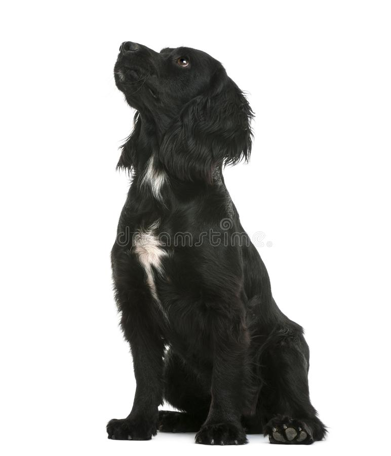 Working Cocker Spaniel sitting and looking up against white back royalty free stock images
