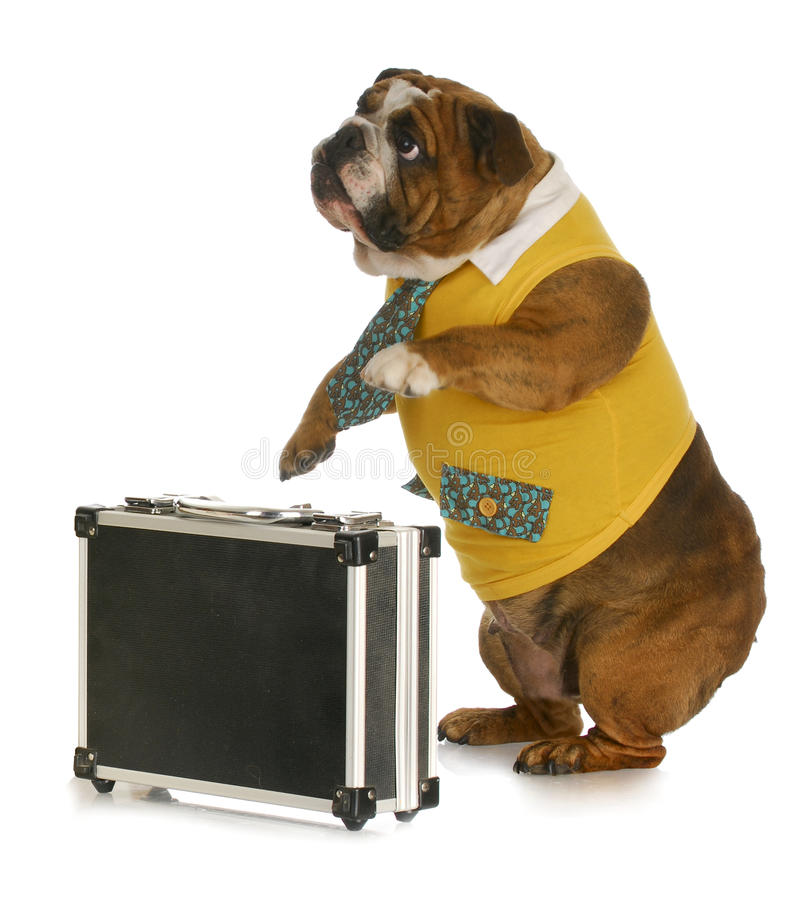 Working dog. English bulldog wearing shirt and tie standing beside briefcase with reflection on white background stock photography