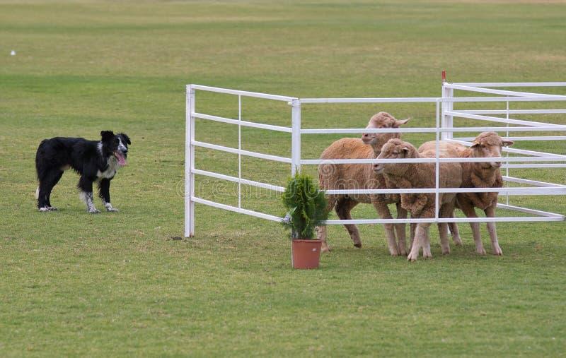 Download Working dog stock photo. Image of landscape, fence, pens - 2584832