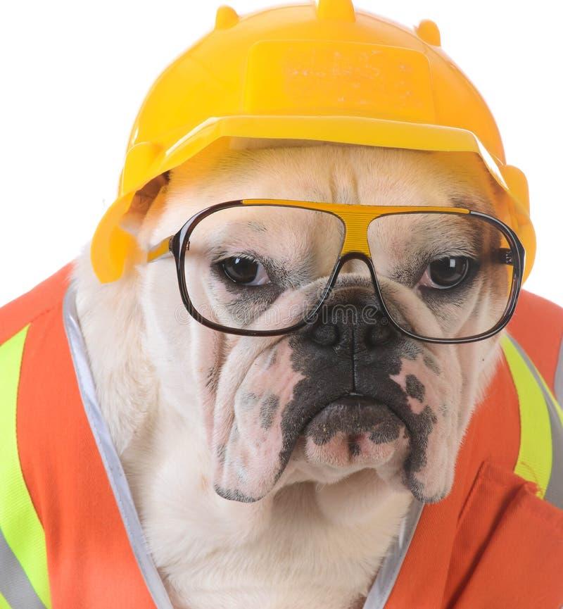 Working dog. Bulldog dressed up like construction worker on white background stock photo