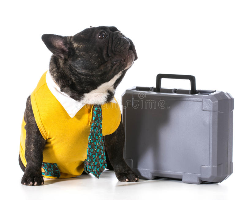 Working dog. French bulldog with silly expression sitting beside briefcase royalty free stock photos