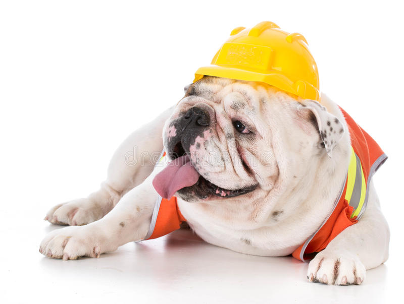 Working dog wearing construction vest. On white background royalty free stock photography