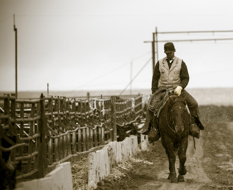 Working the Feedlot. An American Cowboy. Rides the gates at the end of the day stock images