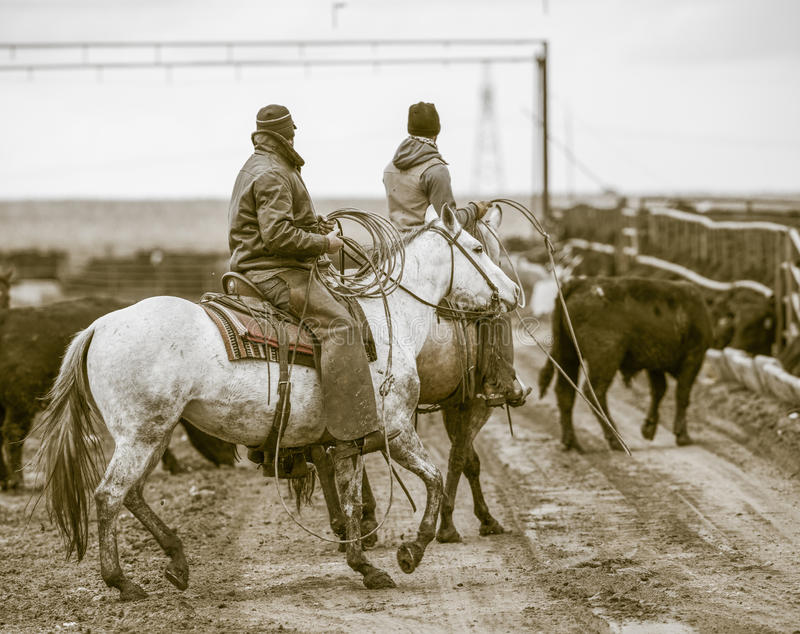 Working the Feedlot. American Cowboys. Working the Feedlot. American Cowboys rope in loose cattle on work horses stock photo