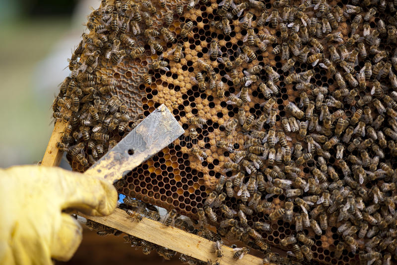 Download Working on Honeycomb stock photo. Image of image, rural - 26238554