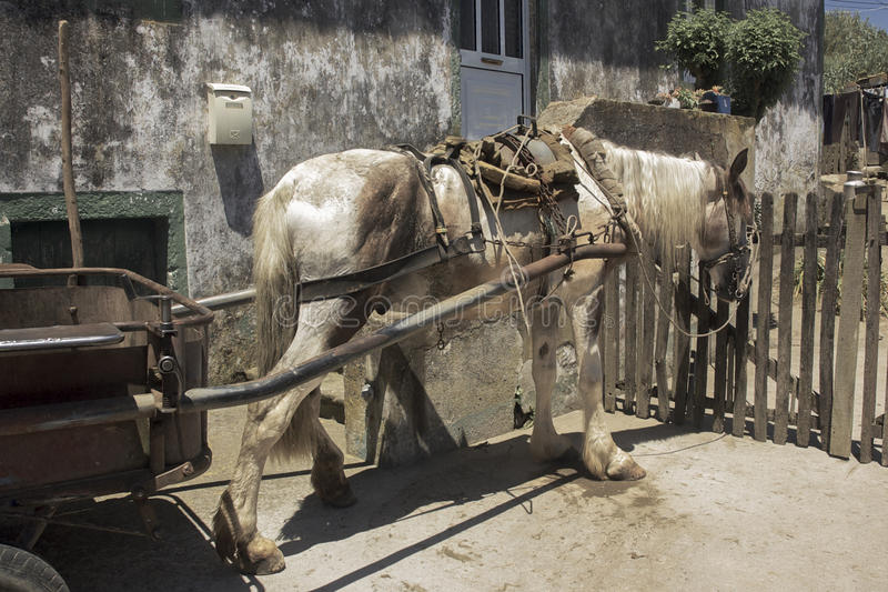 Working horse on the Azores. A trusty old steed hooked up to a cart on the island of São Miguel in the Portuguese archipelago of the Azores stock photos