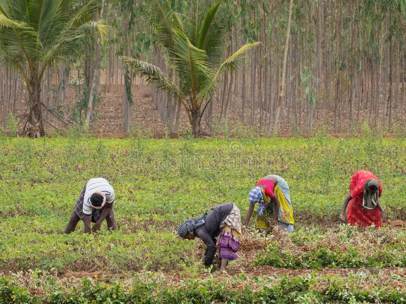 Working in an Indian groundnut field royalty free stock photo