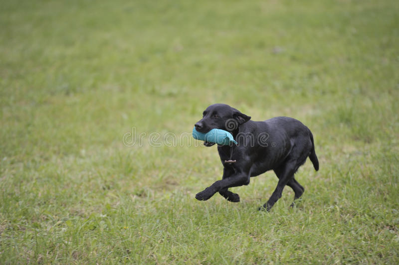 Working labrador retriever. Black Labrador retriever on working test carrying standard green dummy. He is running on green meadow back to the handler royalty free stock photo