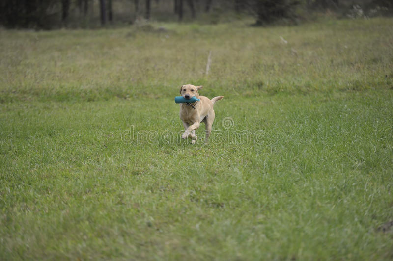 Working labrador retriever. Yellow Labrador retriever on working test carrying standard green dummy. He is running on green meadow back to the handler royalty free stock photo