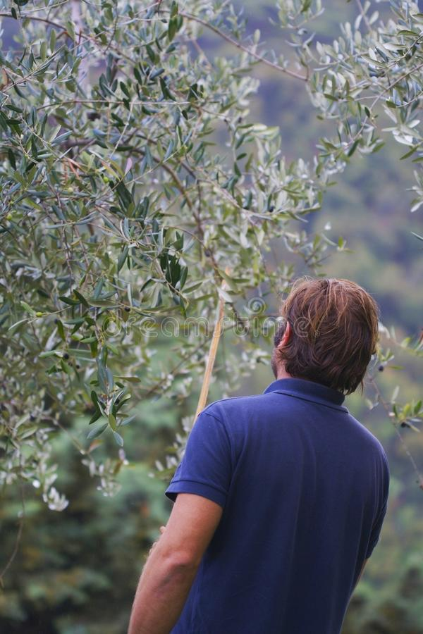 Working in a plantation of olive trees royalty free stock image