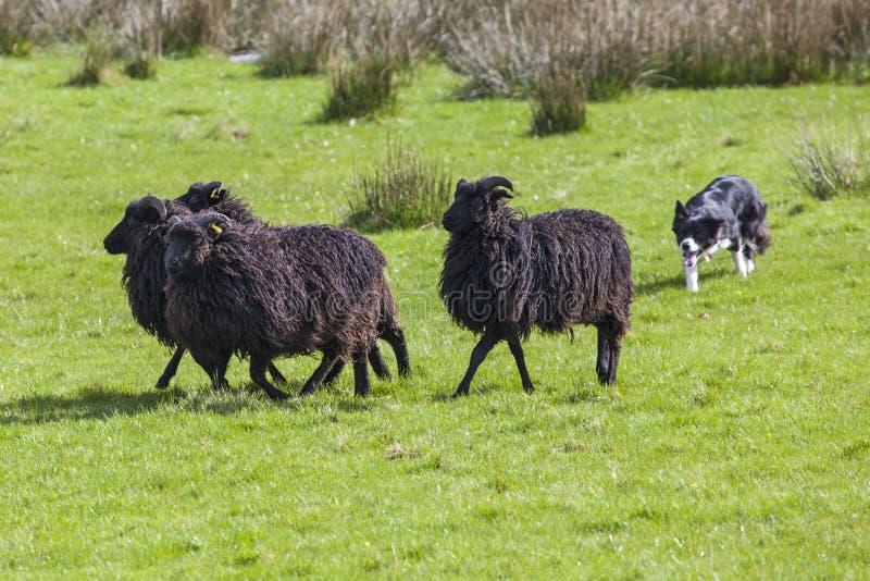 Working Sheep Dog. A sheep dog herding a flock of sheep on farmland royalty free stock image