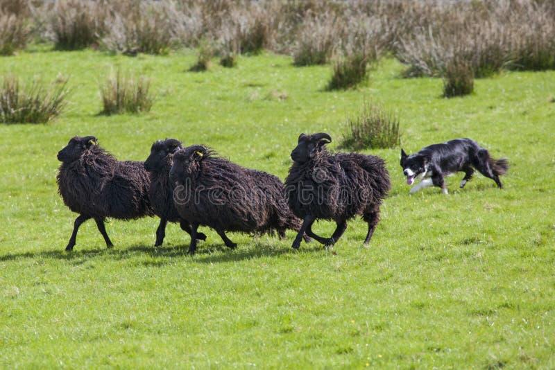 Working Sheep Dog. A sheep dog herding a flock of sheep on farmland stock photography