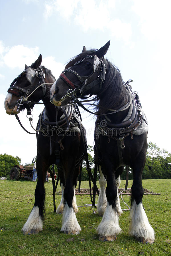 Download Working Shires stock image. Image of fashion, equine - 21918497