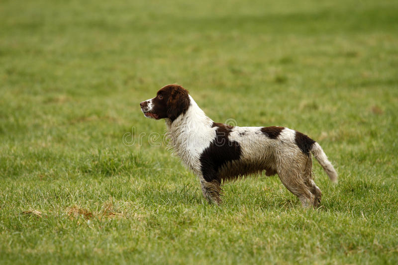Working Springer Spaniel Dog. A fine example of a working Springer Spaniel dog waiting for it's next retrieve stock images