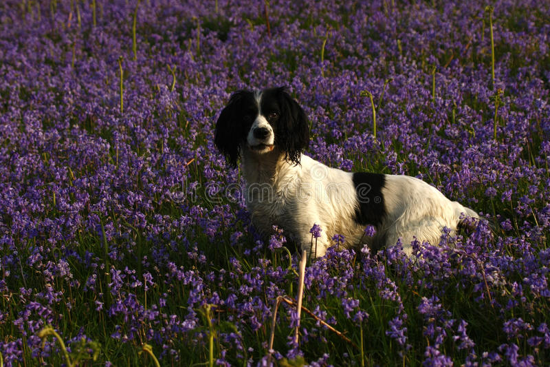 Working Springer Spaniel Dog. A fine example of working Springer Spaniel dog in a bluebell garden royalty free stock photo