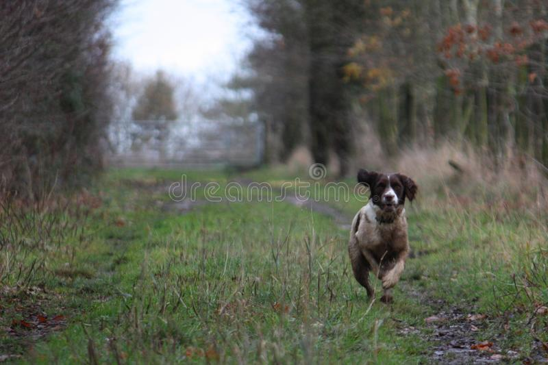 A working type english springer spaniel pet gundog running on a shoot royalty free stock photography