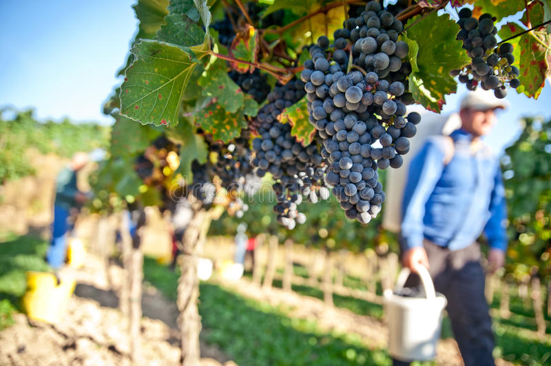 Working in the Vineyard stock images