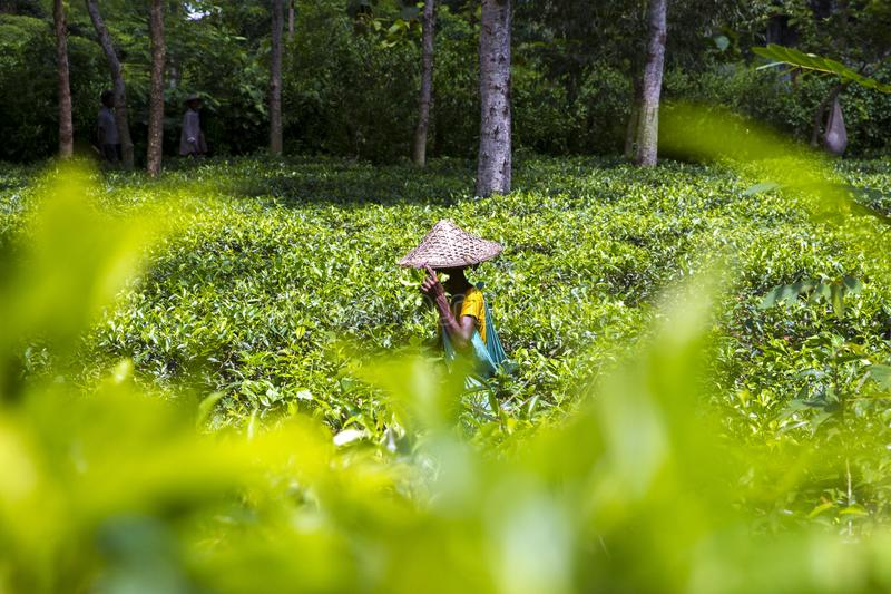 Working woman in Tea garden on Moulovibazar, Bangladesh. The shape of the leaf, and the color. The shape varies for different kinds of tea. Tea bud and leaves stock image