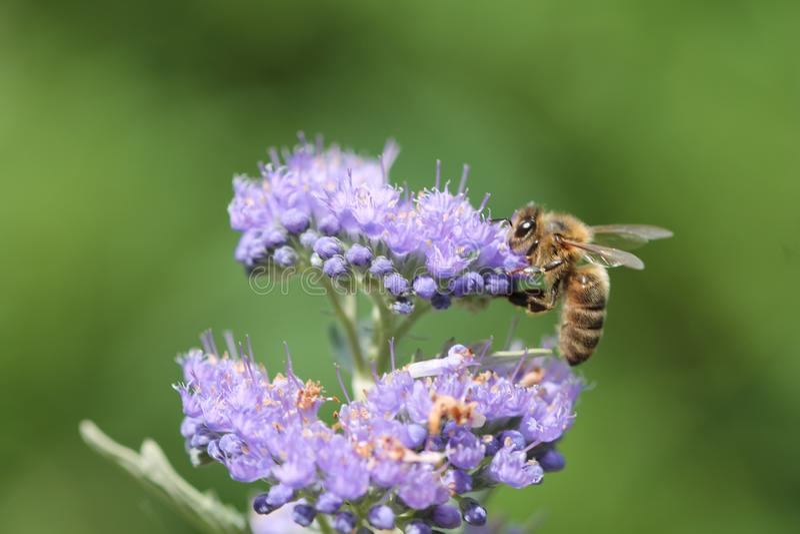 Workingbee w ogródzie zdjęcie stock