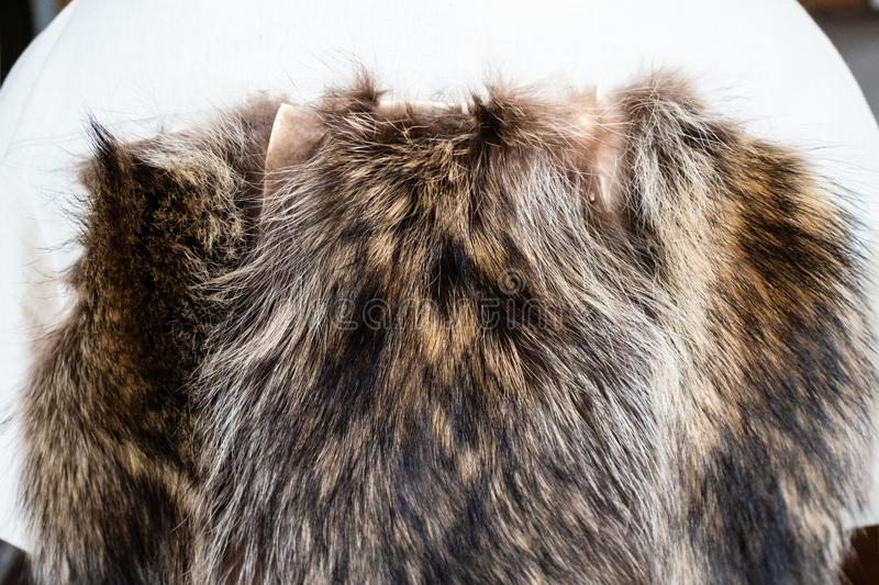Fur pelts stitched to the coat layout on mannequin. Workshop of manufacturing of coats from raccoon fur - fur pelts stitched to the coat layout on tailor royalty free stock images