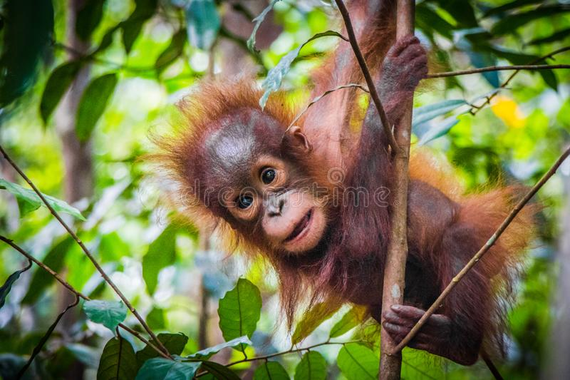World`s cutest baby orangutan hangs in a tree in Borneo. World`s cutest baby orangutan hangs in a tree in the jungles of Borneo stock photography