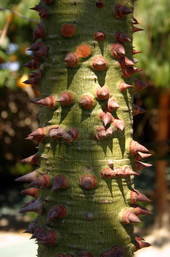 World's hardest tree to climb. Native to the subtropical forests of South America, the Silk Floss Tree is now widespread around south Florida, and appreciated stock image