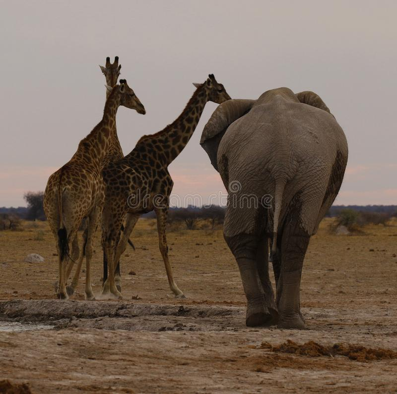 The world`s tallest & Largest mammals royalty free stock photo