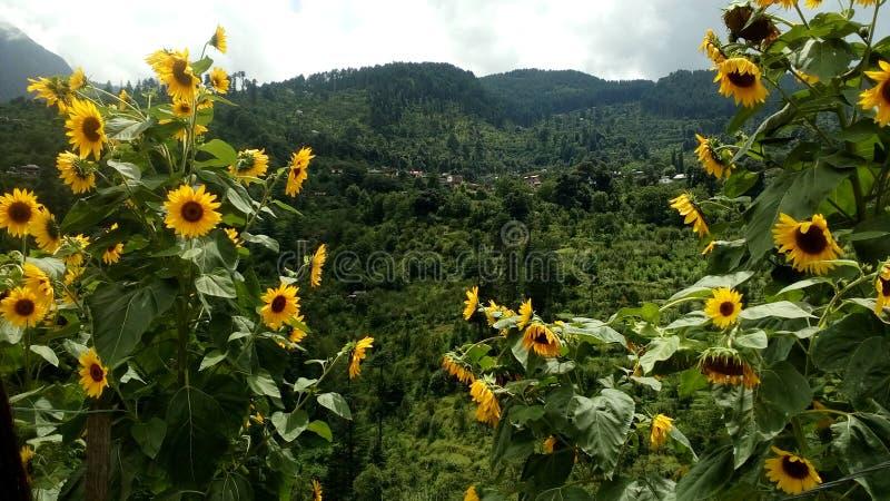 World of sunflower stock photos