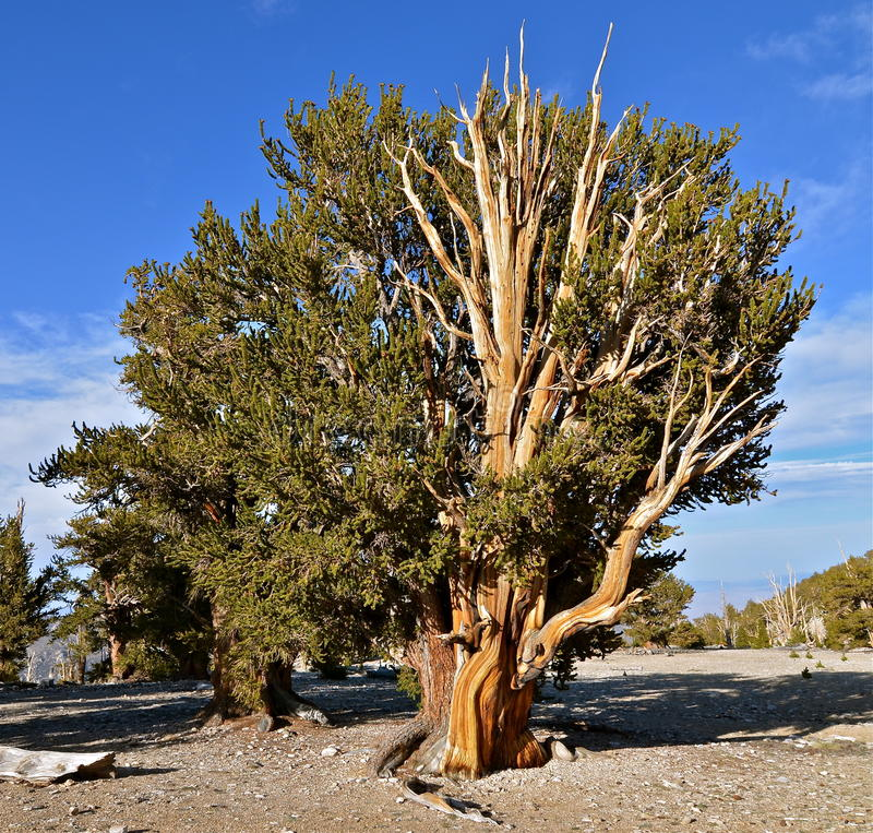Worlds oldest trees in the White Mountains of California. USA stock photography