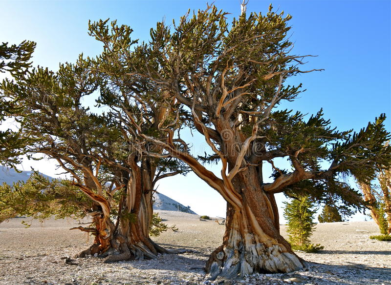 Worlds oldest trees in the White Mountains of California. USA stock photo