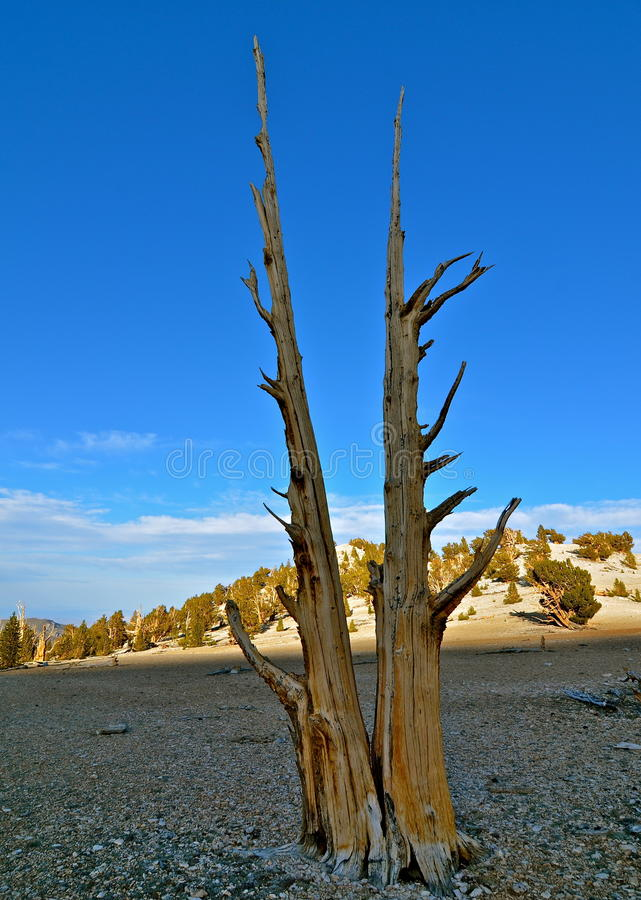 Worlds oldest trees in the White Mountains of California. USA royalty free stock photos