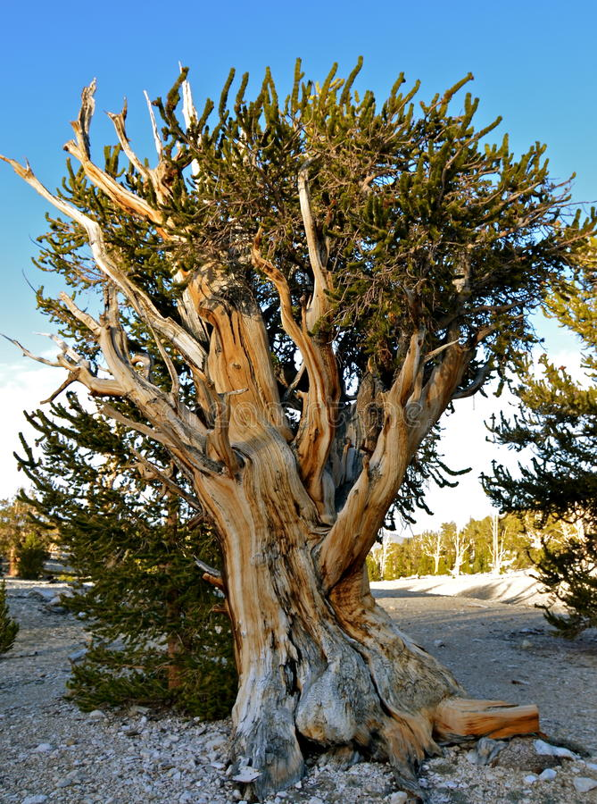Worlds oldest trees in the White Mountains of California. USA stock photos