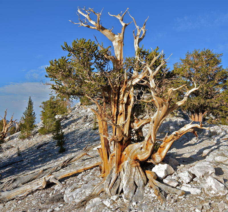 Worlds oldest trees in the White Mountains of California. USA royalty free stock image
