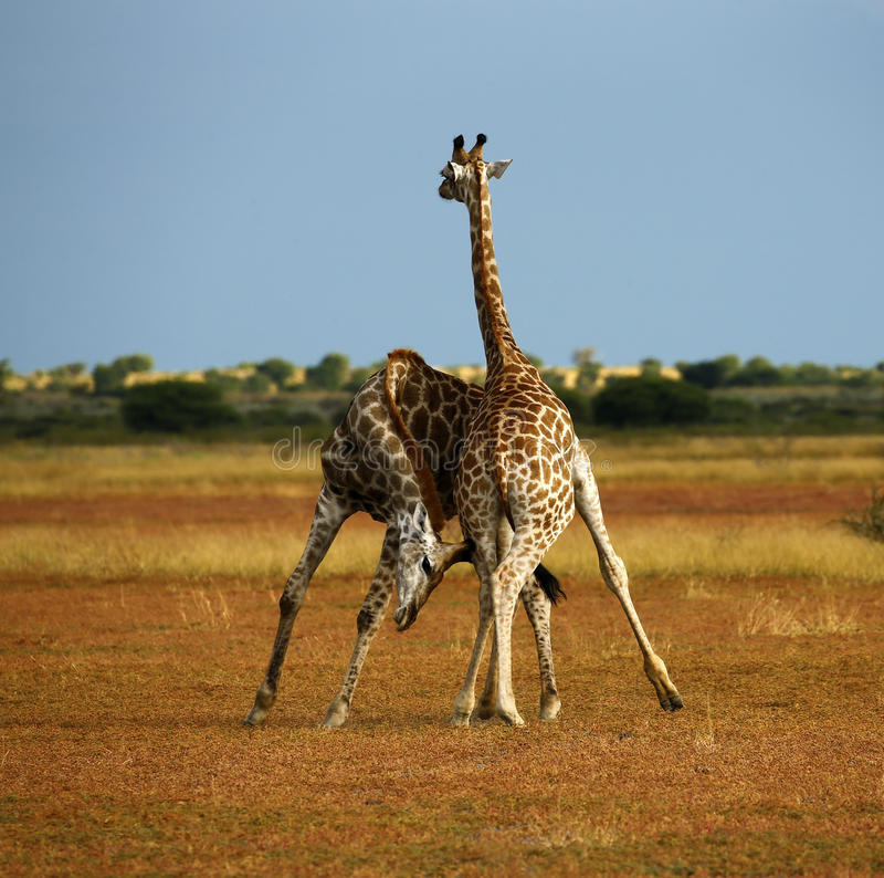 Worlds Tallest Mammal; Reticulated Giraffe. African Reticulated Giraffe, play neck fighting giraffes royalty free stock photos