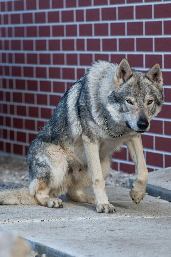 Worlfdog cecoslovacco che sta su immagine stock libera da diritti