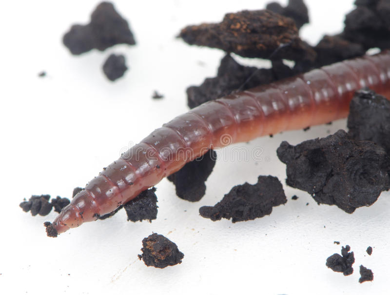 Worm. Earth worm in black dirt royalty free stock image