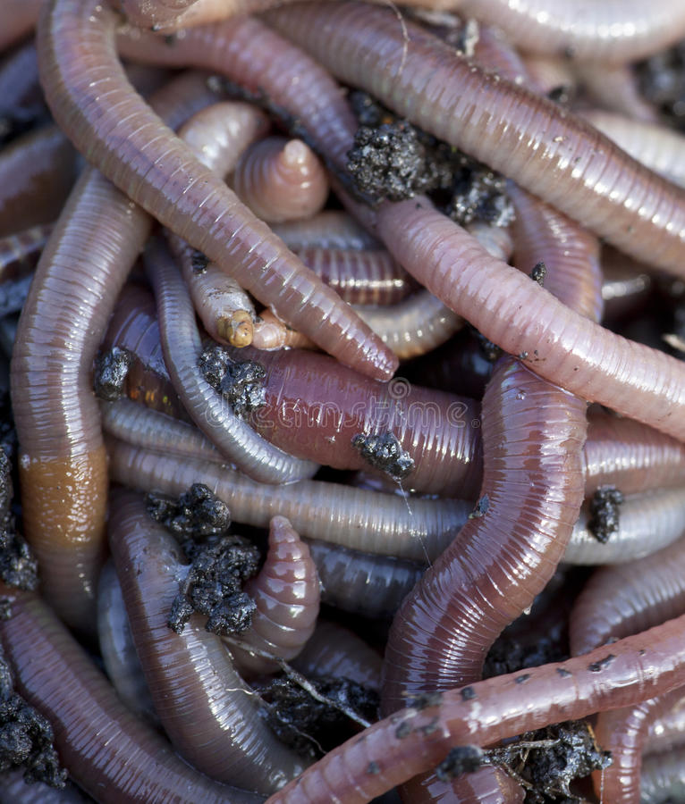 Worm royalty free stock images