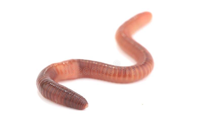 worm photo stock