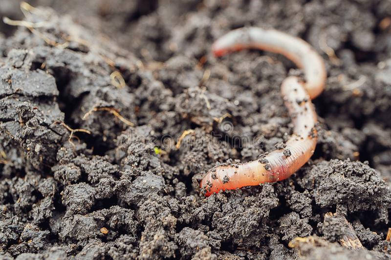 A worm begins to burrow into the ground, a close-up of an earthworm. In natural conditions stock photo