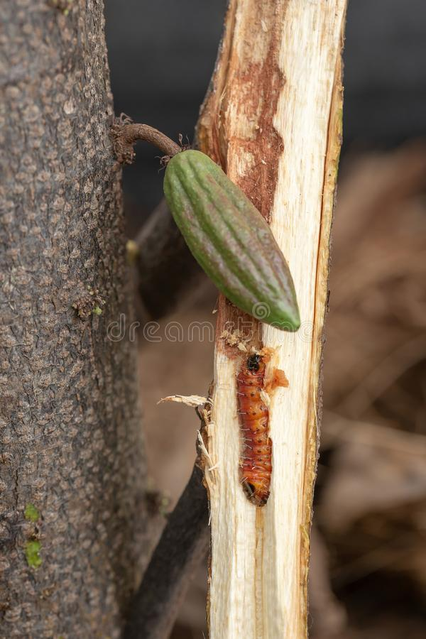 Worm burrowing inside the stem. Diseases and pests affecting cocoa plants. Selective focus stock image