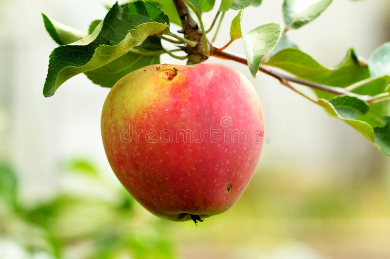 Worm-eaten apple on a branch royalty free stock image