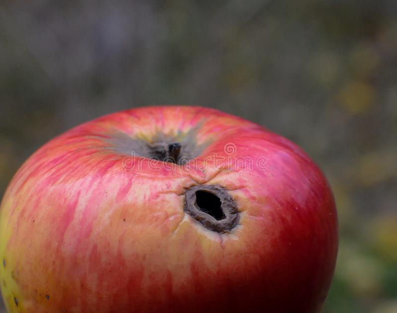 Worm-eaten apple. Red worm-eaten apple royalty free stock photos
