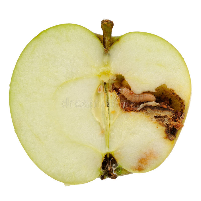 Worm Eating Apple on White Background stock photography