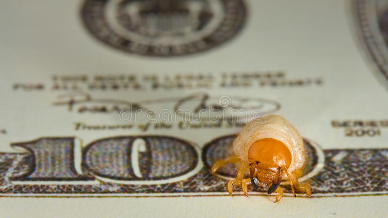 Worm gnawing through money, inflation concept. Macro of hundred dollar banknote eaten by cockchafer stock image
