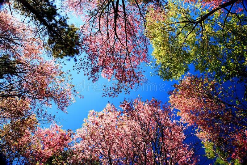 Worm il punto di vista della ciliegia himalayana selvatica (cerasoides del Prunus) a Khun m. fotografia stock