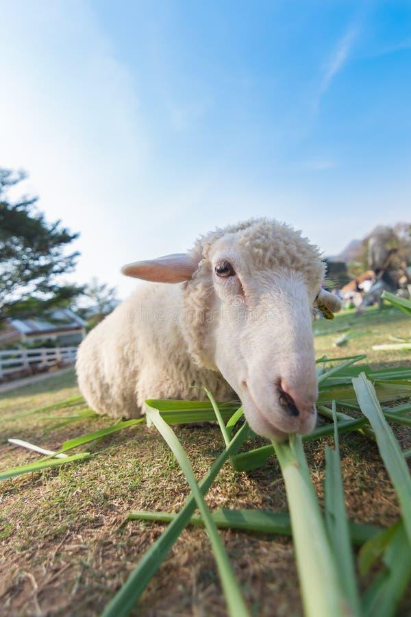 Worm la vue d'oeil des moutons mangeant l'herbe avec le foyer mou et l'a brouillé photos stock
